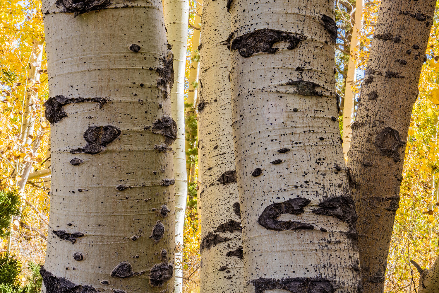 fall_photography_hope_valley_aspen_tree_close_up