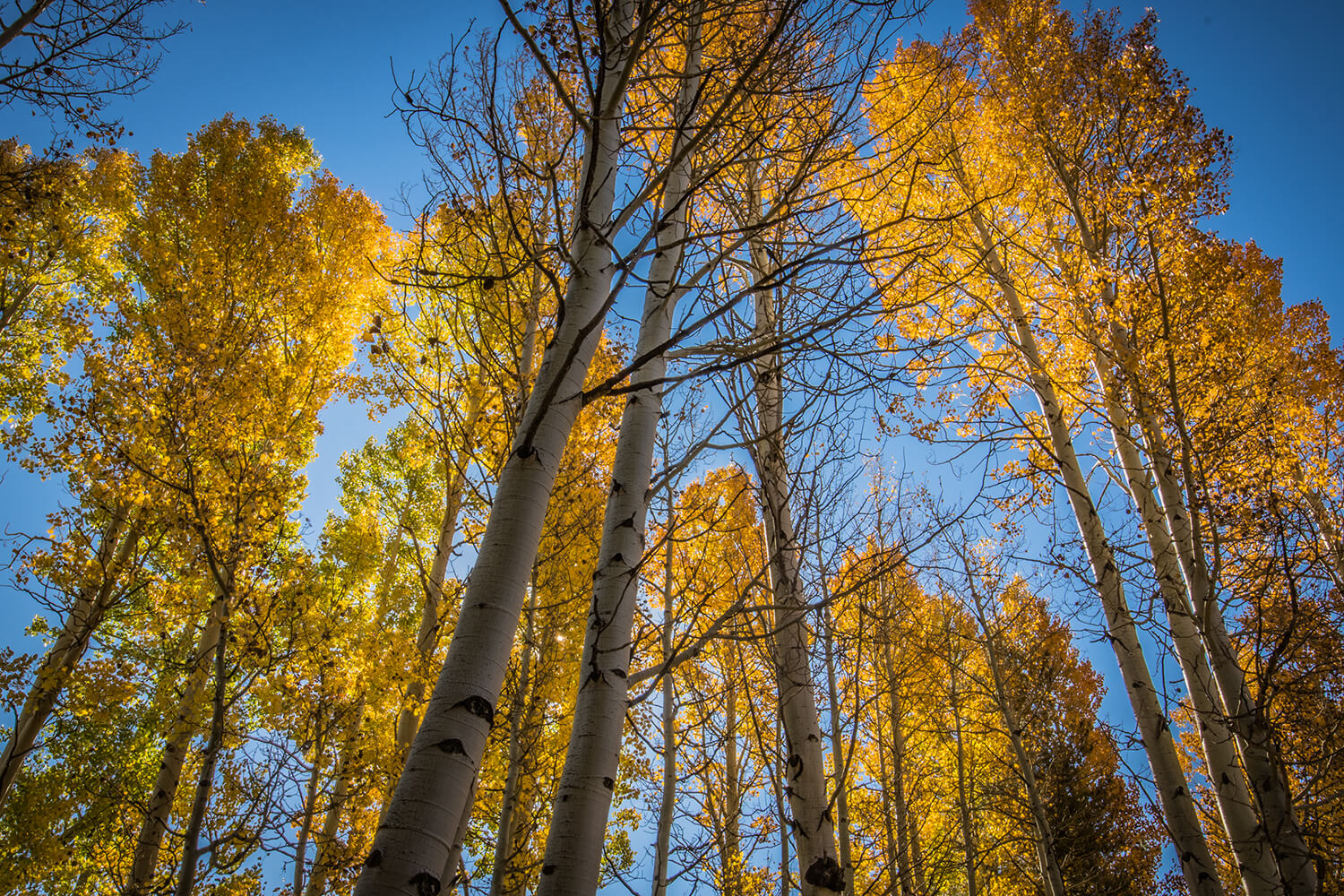 fall_photography_hope_valley_aspen_trees