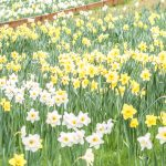 Daffodil Hill Sutter Creek CA